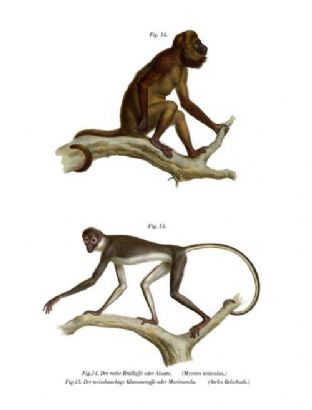 Red Howling Monkey  (Mycetes Seniculus) & White-Bellied Spider Monkey  (Ateles Belzebuth)